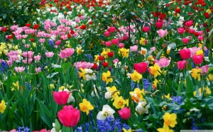 spring_flowers-tulips